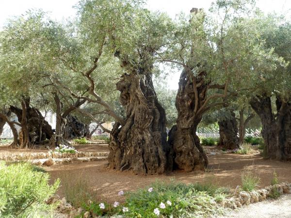 olivenbaum im garten des getsemani jerusalem israel. Black Bedroom Furniture Sets. Home Design Ideas
