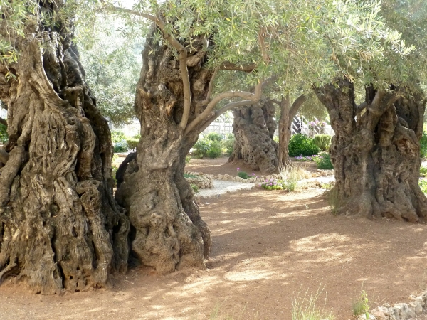 Gethsemane, picture by Tim B, 2012-02-05