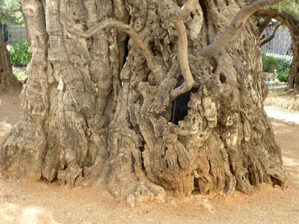 olivenbaum im garten des getsemani jerusalem. Black Bedroom Furniture Sets. Home Design Ideas
