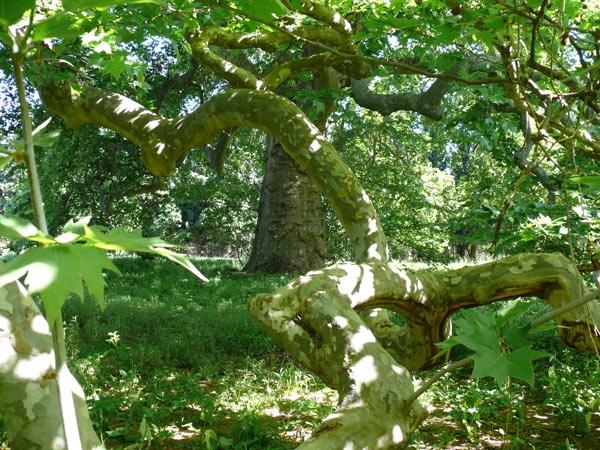 Gewone plataan in de tuin nabij all e du ch teau lamanon frankrijk - Idee van allee tuin ...