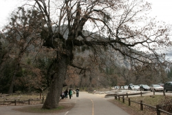 California black oak close to the entrance of the visitor centre Yosemite valley, Yosemite National Park, United States