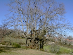 Sweet chestnut in a prado, Pexeiroos, Spain
