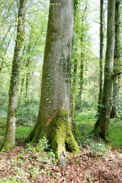 Sessile oak in the For�t de Berc�, Jupilles, France