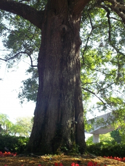 Quercus virginiana  At Disneyworld Florida, Orlando, Verenigde Staten