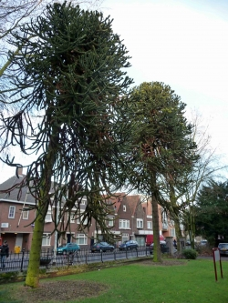 Monkey-puzzle in the garden of Strijpsestraat 127, Eindhoven, Netherlands