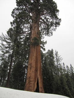 S�quoia g�ant dans le Giant Forest, Parc national de Sequoia, �tats-Unis
