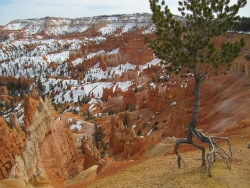Limber pine in Bryce Canyon Narional Park, Bryce Canyon National Park, United States