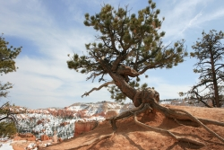 Pin ponderosa � Bryce Canyon Narional Park, Bryce Canyon National Park, �tats-Unis