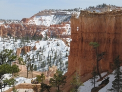 Ponderosa pine in Bryce Canyon Narional Park, Bryce Canyon National Park, United States