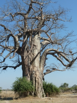 Baobab africain � South Luangwa National Park, Mfuwe, Zambie