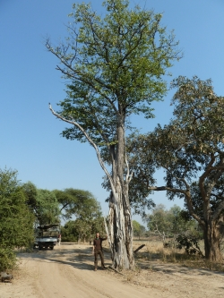 Mopane in het South Luangwa National Park, Mfuwe, Zambia