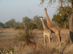 Worstenboom in het South Luangwa National Park, Mfuwe, Zambia