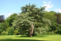 Lebanon cedar in the garden of the castle of Enghien, Enghien, Belgium