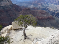 Colorado pinyon in the South Rim, Grand Canyon National Park, United States