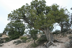 Utah juniper in the South Rim, Grand Canyon National Park, United States