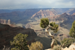 Gen�vrier de l'Utah dans le South Rim, Grand Canyon National Park, �tats-Unis
