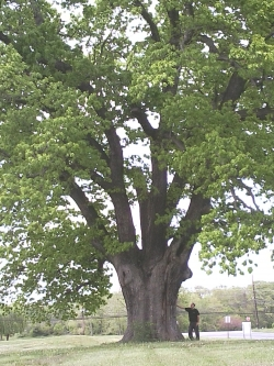 White oak in a meadow near Petticoat Bridge Rd, Mansfield Township, United States