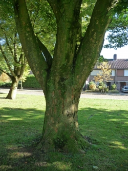 Japanese zelkova in the Philips van Lenneppark, Eindhoven, Netherlands