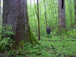 Pedunculate oak in the forest, Pra�nik Special Reserve, Croatia
