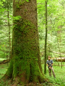 Norway spruce at the Perucica Forest Reserve, Sutjeska National Park, Bosnia and Herzegovina