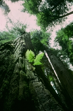Coast redwood in Redwood National Park, Redwood National Park, United States