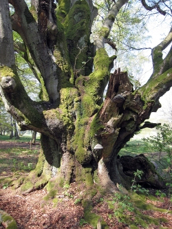 European beech close to ehemaligen Ziegelh�tte, Oberbach, Germany