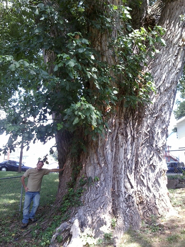 Eastern Cottonwood Along The Street North 2nd Street In
