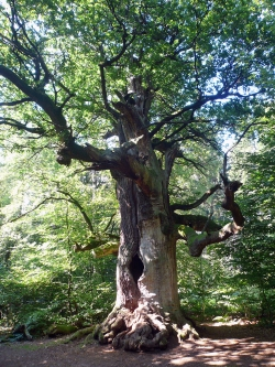 Pedunculate oak in the Urwald Sababurg, Hofgeismar, Germany