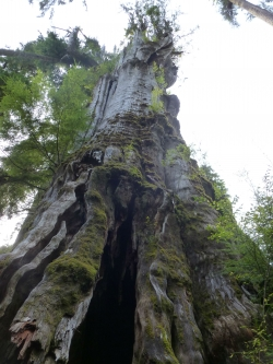 Western redcedar close to Lake Quinault Resort, Lake Quinault, United States