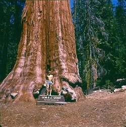 Giant sequoia in Grant's Grove, Parc national de Kings Canyon, United States