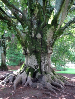 European beech near the Royal Palace of La Granja, San Ildefonso - La Granja, Spain