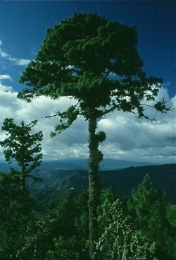 Ocote pine on the summit of Mt Canta Gallo, El Eden, Honduras
