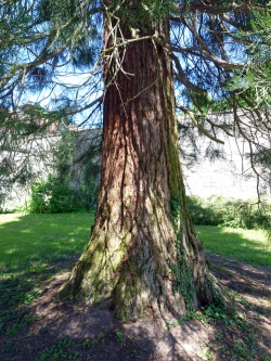 Giant sequoia on the grounds of the Schloss Sternberg, Sulzdorf an der Lederhecke, Germany