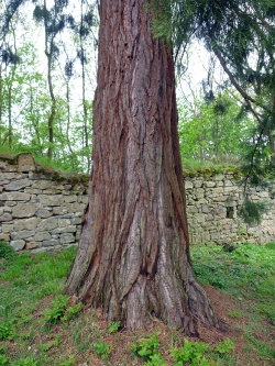 Giant sequoia on the estate of the Burg Lichtenstein, Pfarrweisach, Germany