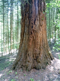Giant sequoia on the grounds of the Schloss Ramholz, Vollmerz, Germany