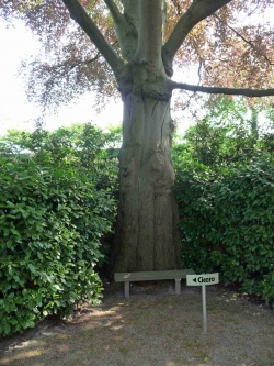 European beech in the garden of Kleine Gent 11, Vught, Netherlands