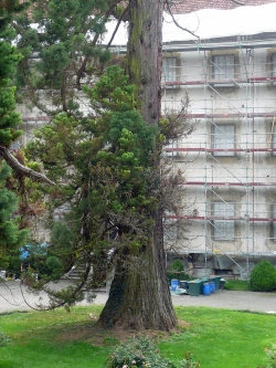 Giant sequoia in the garden of the Schloss Salem, Salem, Germany