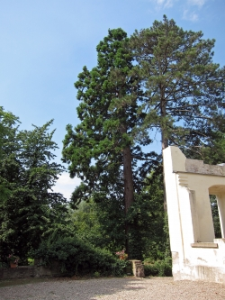 Giant sequoia on the estate of the Burg Boetzelaer, Appeldorn, Germany