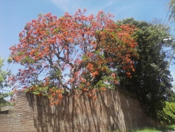 Brazilian coral tree on the corner of Roca y Lasalle, San Isidro, Argentina