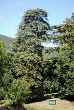 Lebanon cedar in the garden of the castle of Larochemillaye, Larochemillay, France
