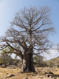 Baobab in Iwol, Iwol, Senegal