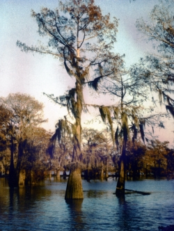Bald cypress in the area of Atchafalaya Basin, Henderson, United States