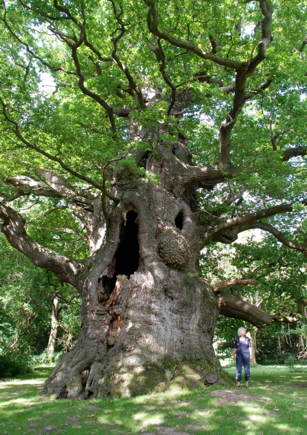 Pedunculate Oak Majesty In Fredville Park Nonington