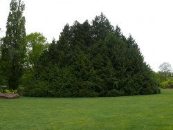 Western redcedar in the Jardin du Vitr�, Vitr�, France