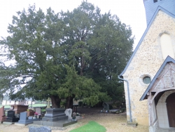 Yew on the cemetery  of the church of La Haye-de-Routot, La Haye-de-Routot, France
