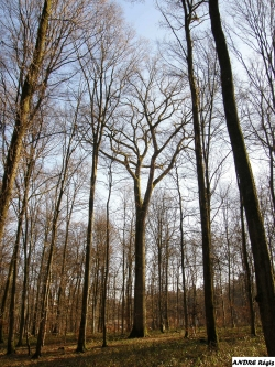 Sessile oak in the woods of Schlosswald / for�t domaniale de Sarre-Union, Herbitzheim, France