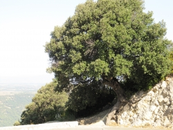Holm oak along the Route de Comps, Aiguines, France