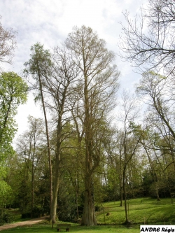 Bald cypress in the parc du ch�teau de Preisch, Basse-Rentgen, France