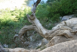 Phoenicean juniper along the river Verdon, pr�s de l'Imbut, Aiguines, France