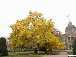 Ginkgo at the place de la R�publique, Strasbourg, France